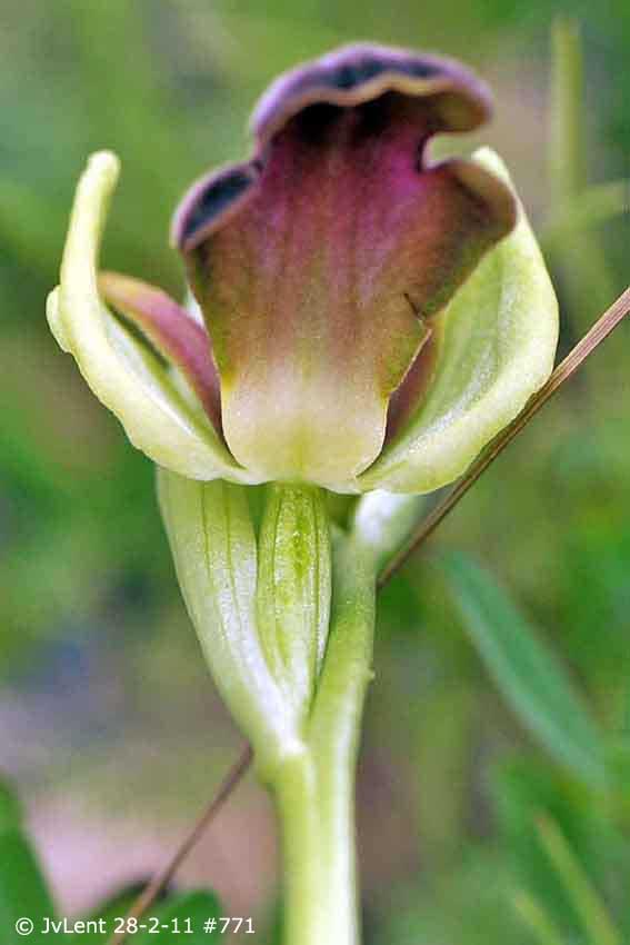 Z6) 28 febr 11 771 bew4 copy, 72dpi pl3, Ophrys mesaritica, Larisoshoeki