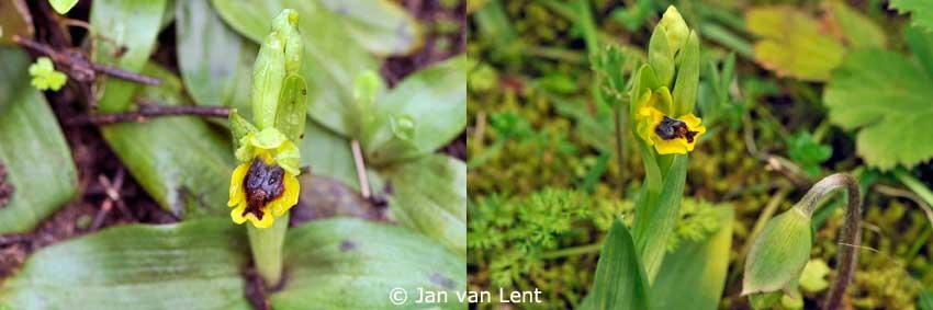 Ophrys sicula, Eftalou, © Jan van Lent