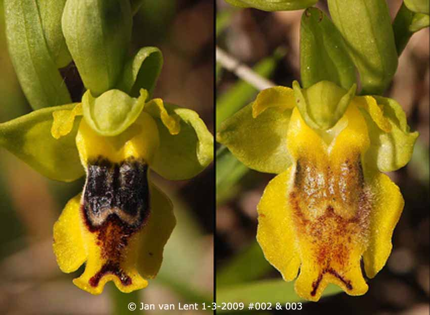 2 flowers of same Ophrys sicula © Jan van Lent 1-3-2009 #002 & 003