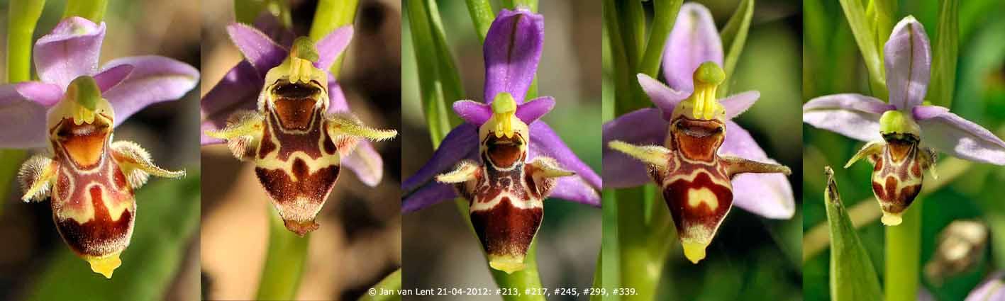 x3) BEW3 5 x Ophrys Liota, #213, #217, #245, #299, #339, 50x15cm, 72dpi