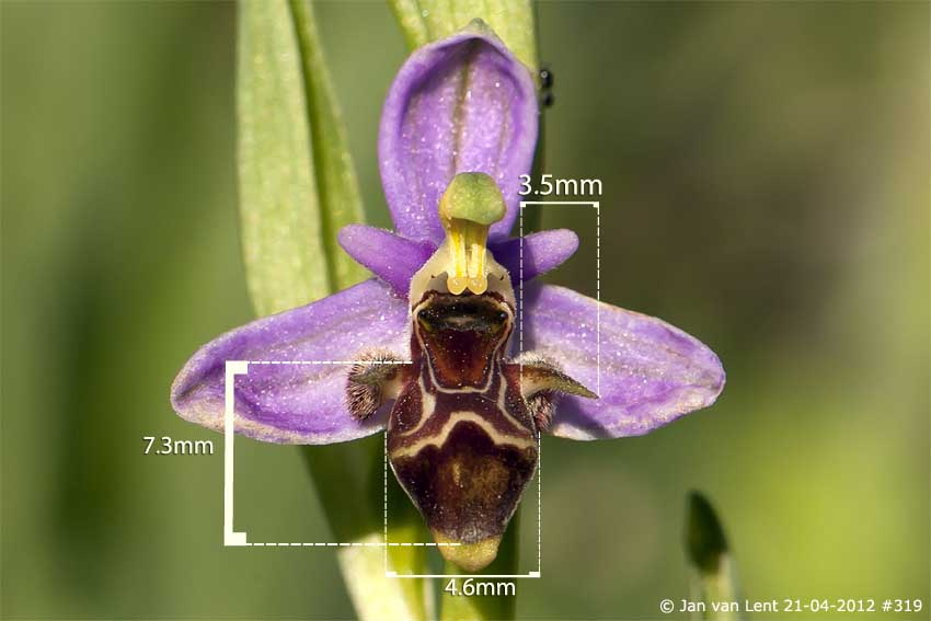 Ophrys orphanidea? Liota. © JvL 21-04-2012 #319