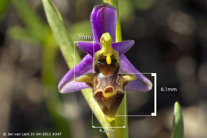 Ophrys minutula, Liota. © Jan van Lent 21-04-2012 #247