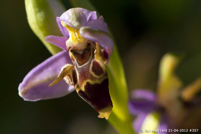 Ophrys masticorum with long horns? Liota, © JvL 21-04-2012 #357. Bye!
