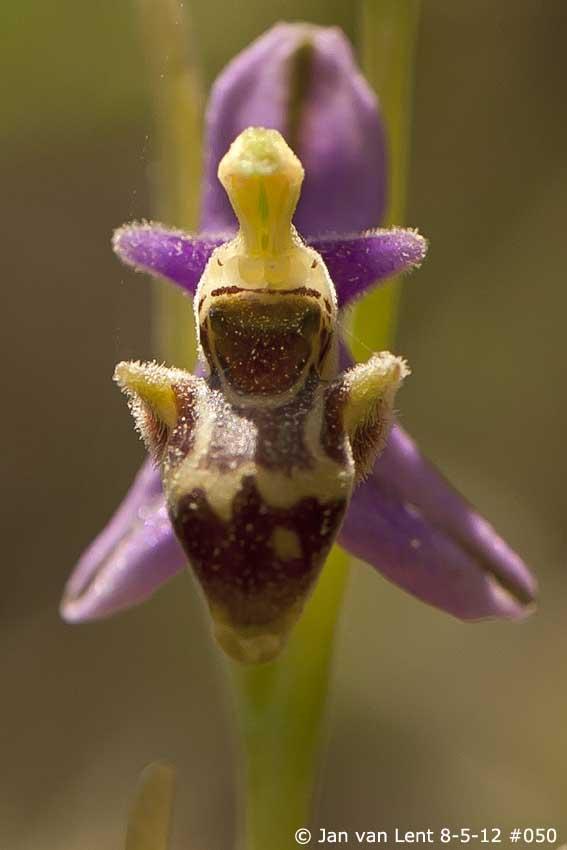 Ophrys minutula: Alifantá © JvL 8-05-2012 #050