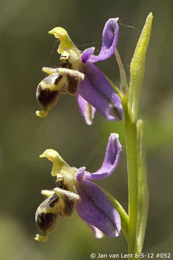 Ophrys minutula: Alifantá © JvL 8-05-2012 #052