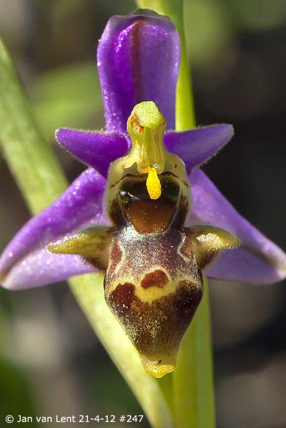 Ophrys minutula: Liota © JvL 21-04-2012 #247