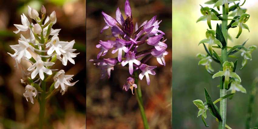 x7a) BEW op 4 A.pyramidalis,  Anacamtorchis lesbiensis & Platanthera