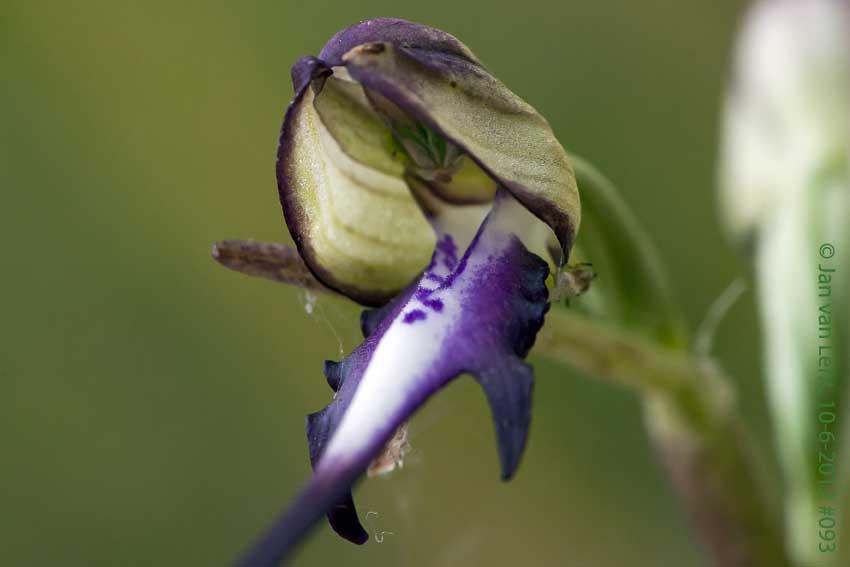 Himantoglossum caprinum op4, Sanatorio Agiasos. © JvL 10-6-12 #093