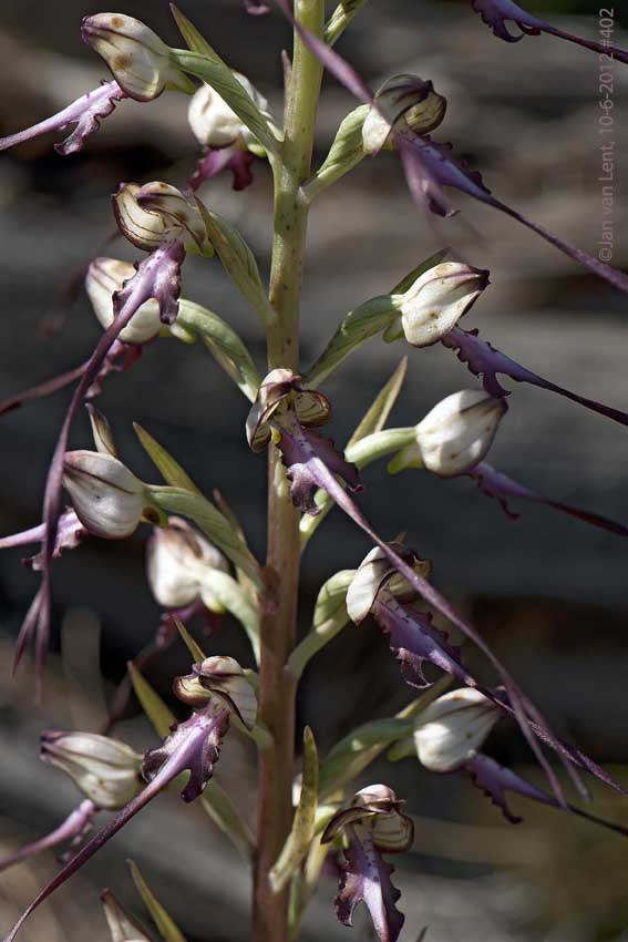 Himantoglossum caprinum, Megalochori, © JvL 10-6-12 #402