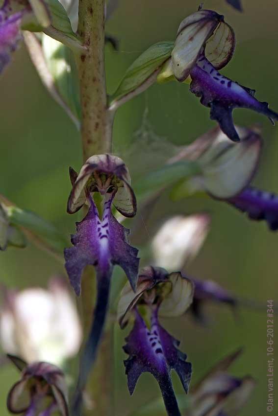 H. caprinum x H.montis-tauri, Megalochori, © JvL 10-6-12 #344
