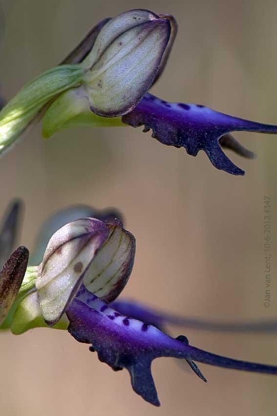 H. caprinum x H.montis-tauri, Megalochori, © JvL 10-6-12 #347