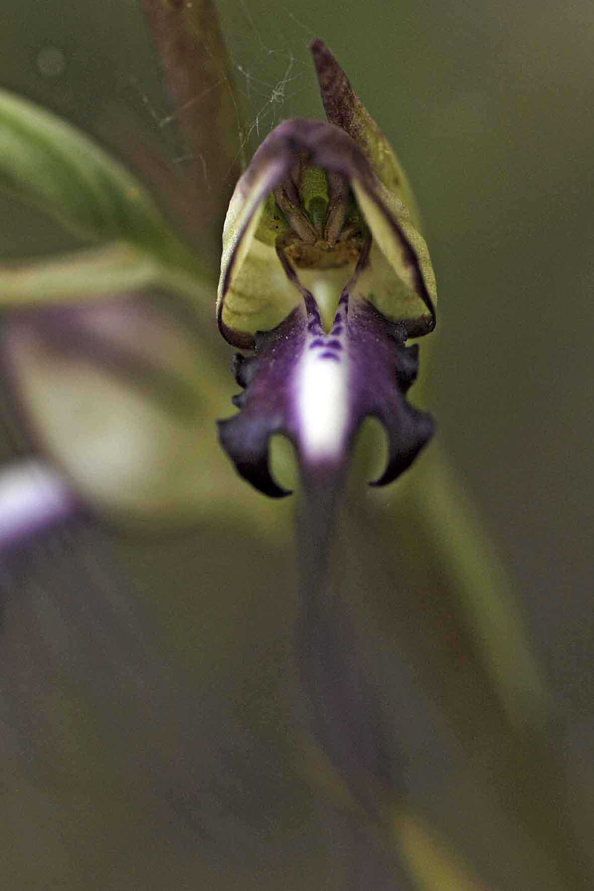 Himantoglossum caprinum, Sanatorio Agiasos. © JvL 10-6-12 #030