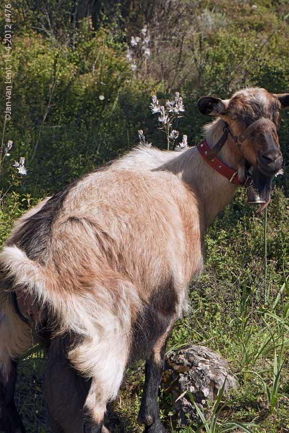 Pissing goat... © JvL 11-4-12 #476