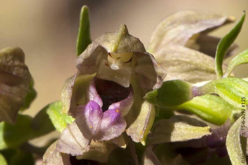 15 juni 12 125  E.densifolia, Amalí, 30x20, copy, 72dpi