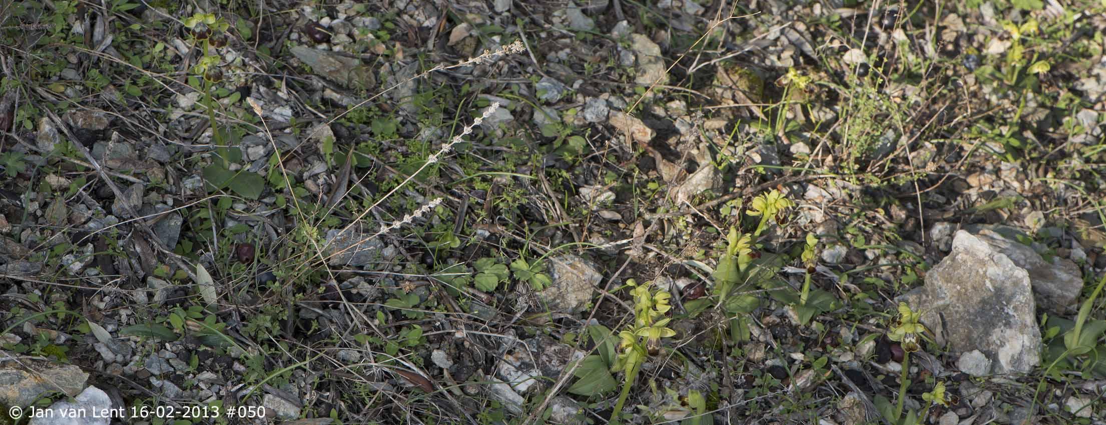 Early Ophrys at Plakés, © JvL 16-02-2013 #050