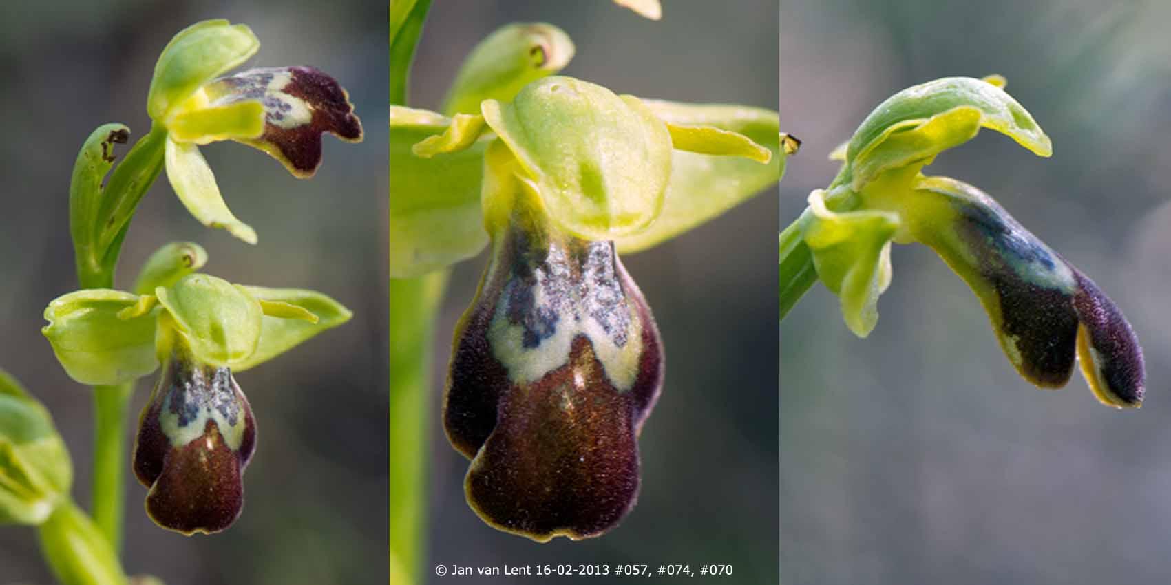 Ophrys sancti-isidorii at Plakés, © JvL 16-02-2013 #057, #074, #070