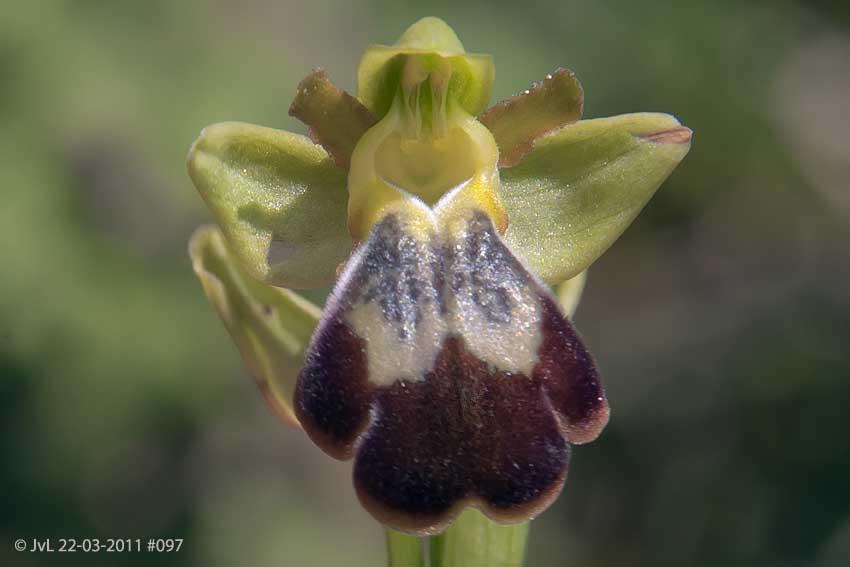 Ophrys leucadica at Alifantá, © JvL 22-03-2011 #097