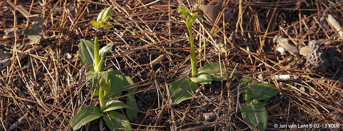 Ophrys (fusca ssp.) sancti-isidorii, Lambou Mili, © JvL 6-02-13 #006