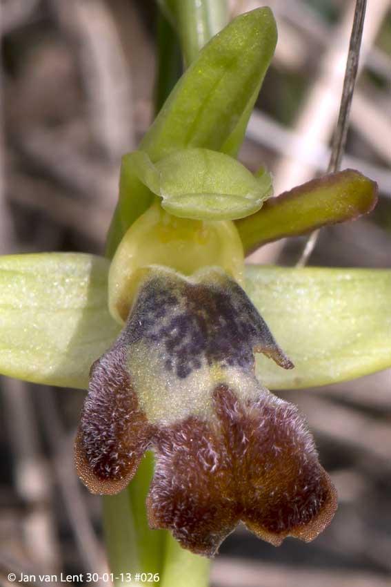 Ophrys sancti-isidorii, Alifantá, © Jan van Lent 30-01-13 #013