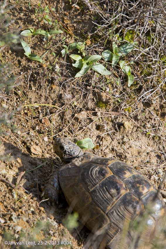 Tortoise eating Orchid rosettes © JvL 23-02-2013 #004