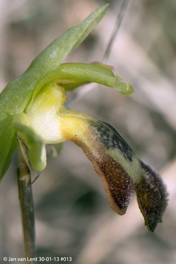 Ophrys sancti-isidorii, Alifantá, © JvL 30-01-13 #013