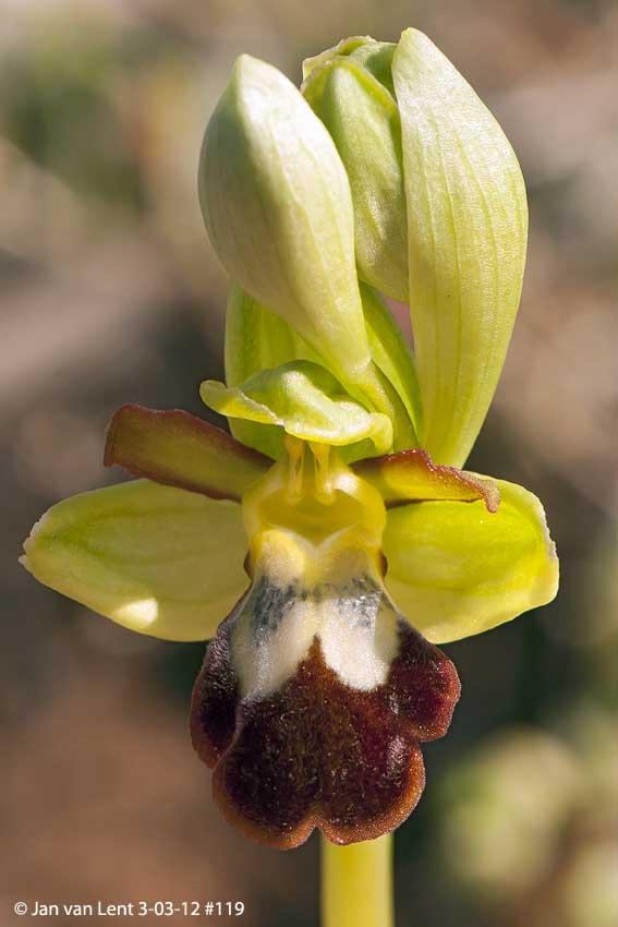 Ophrys sancti-isidorii? Anemomilos, © JvL 3-03-12 #119.