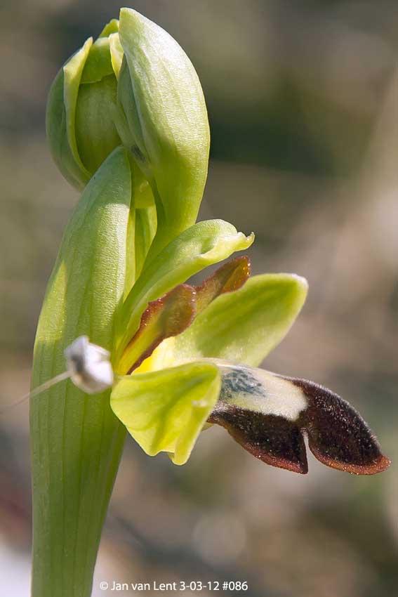 Ophrys sancti-isidorii? Anemomilos, © JvL 3-03-12 #086