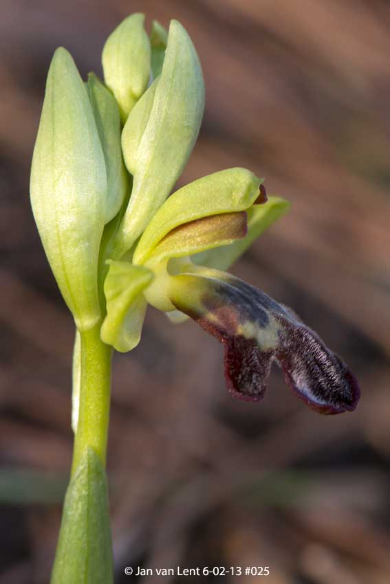 Ophrys (fusca ssp.) sancti-isidorii, Lambou Mili, © JvL 6-02-13 #025