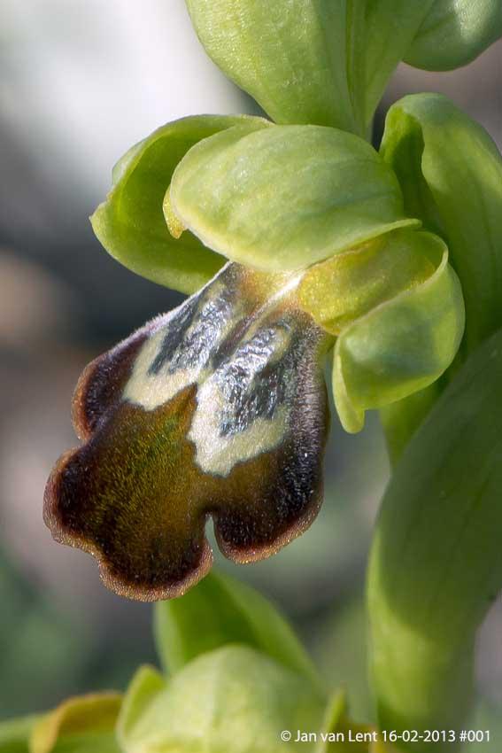 Ophrys. leucadica, Plakés, © JvL 16-02-2013 #001