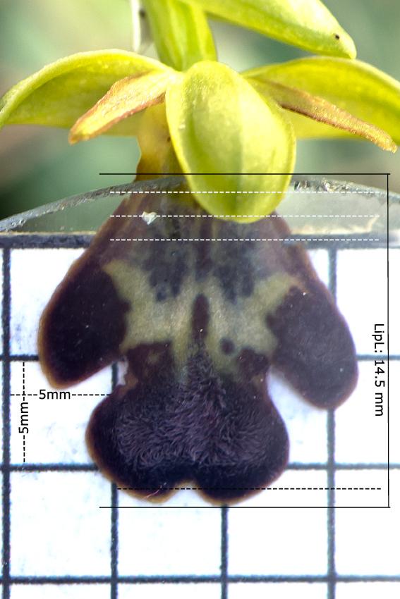 Pl.12: Ophrys leucadica, Lambou Mili p. © Jan van Lent, 15-2-14 #127