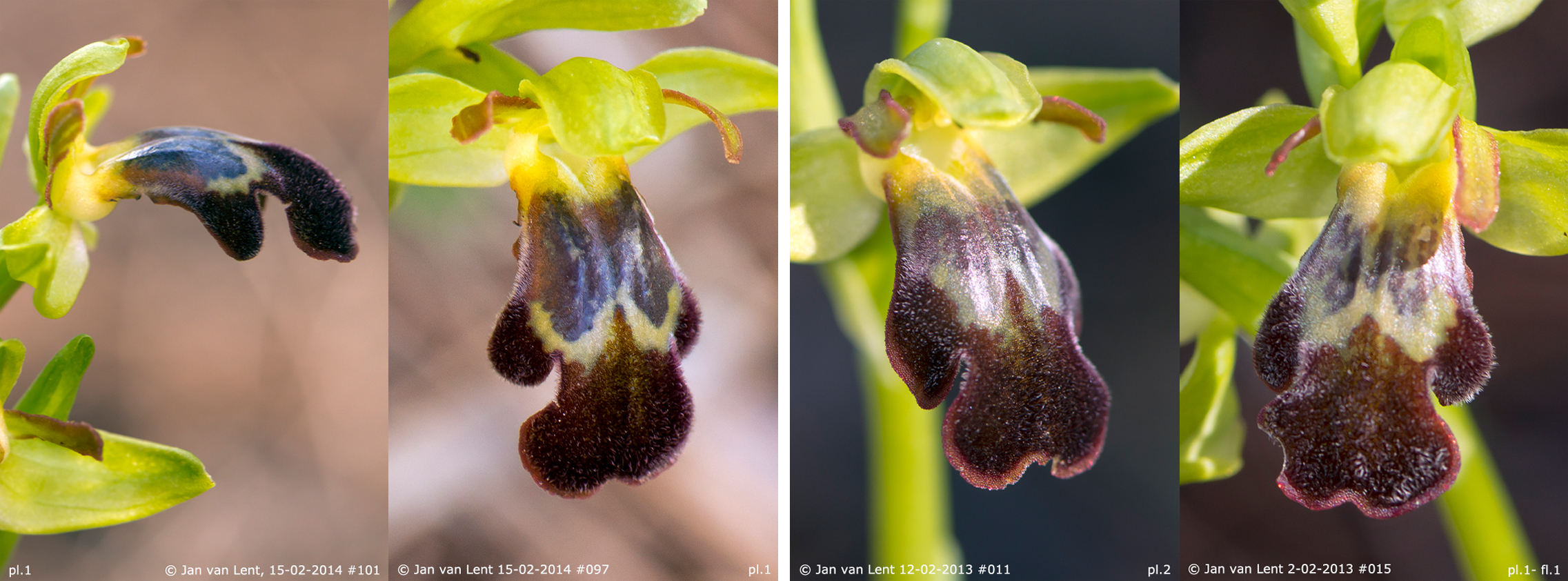 Pl. 1: Ophrys sancti-isidorii on 15-2-14 #101, #097 & pl.2 and pl.1 on 12-2-13 #011, #015.