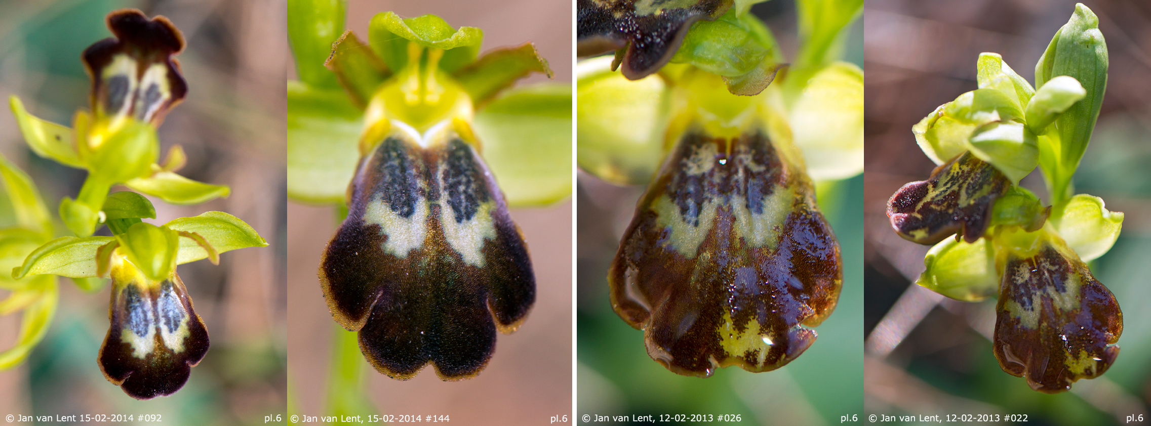 Pl. 6: Ophrys phaseliana on 15-2-14 #092, #144 & Ophrys phaseliana on 12-2-13 #026, #022.