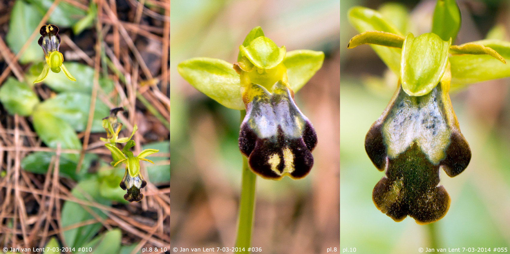 © Jan van Lent, the 2 surviving plants on 7-03-2014: pl.8 Ophrys leucadica & pl.10 Ophrys lindia.