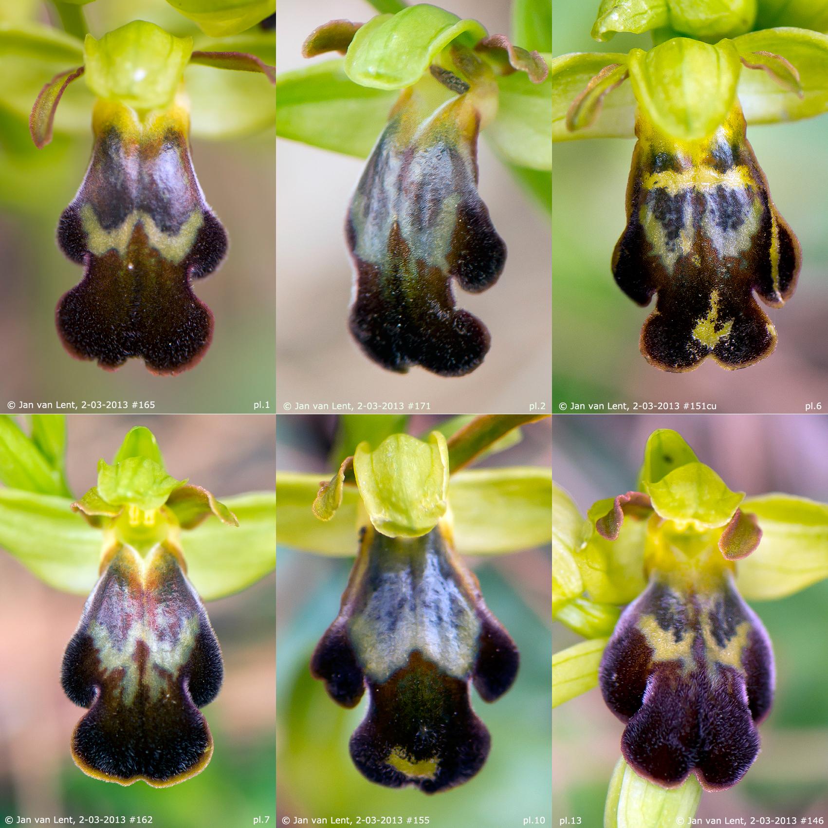 © Jan van Lent, 2-03-2013: 6 plants: pl.1 & 2: O. sancti-isidorii, pl6: O. phaseliana,  Pl.7: O.pelinaea, pl10: O.lindia, pl12: O.leucadica.