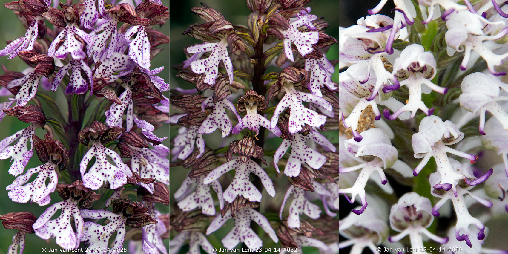 2 Orchis purpurea & 1 Orchis simia, Mt. Fouga, © Jan van Lent 23-04-14