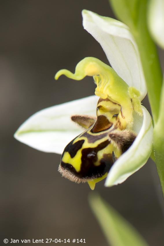 Ophrys apifera, Skopelos © Jan van Lent 27-04-14 #141