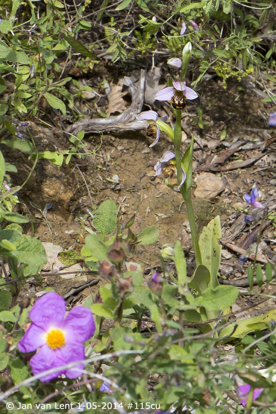 Ophrys apifera, Mt. Fouga © Jan van Lent 1-05-14 #116