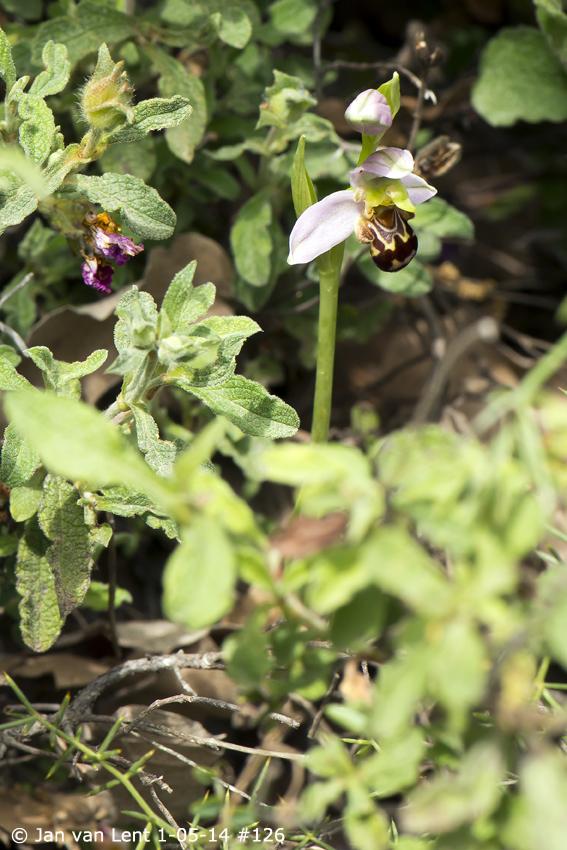Ophrys apifera, Mt. Fouga © Jan van Lent 1-05-14 #126