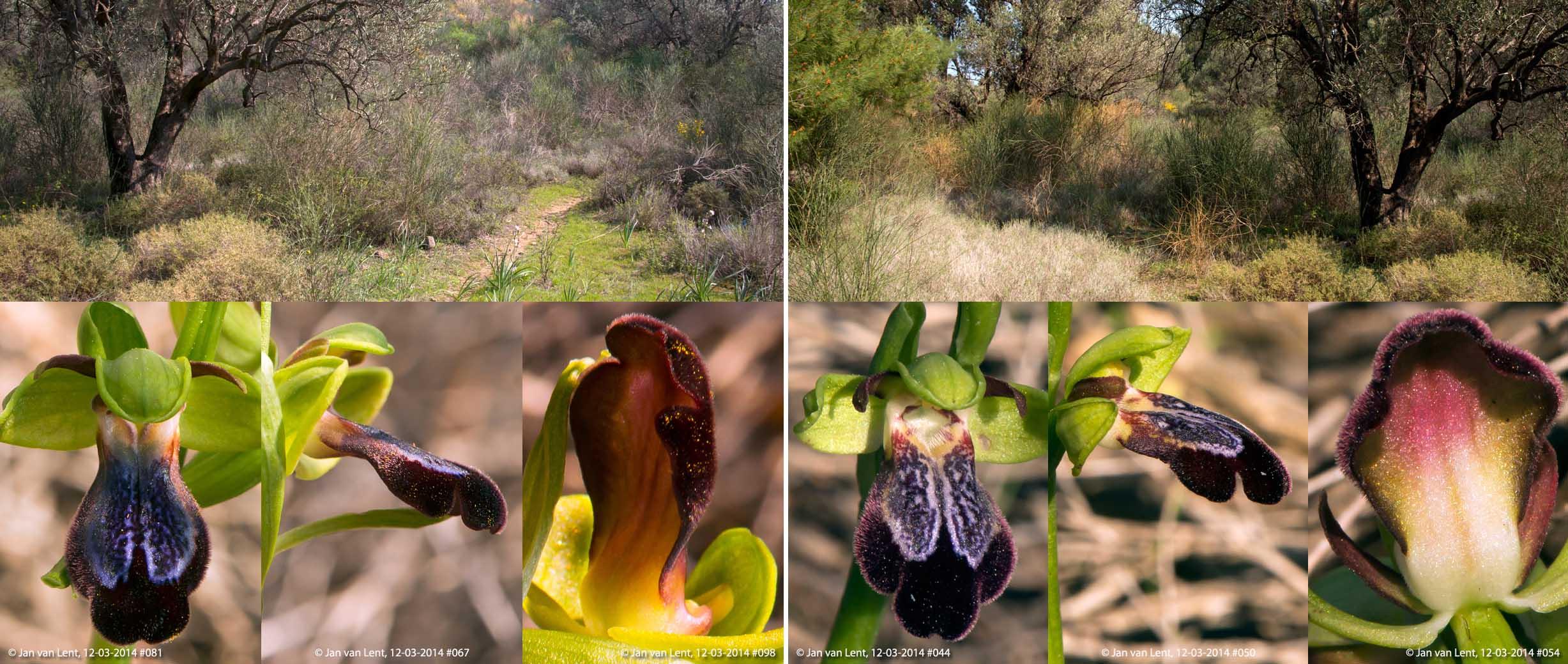 Ophrys iricolor & mesaritica, Eftalou