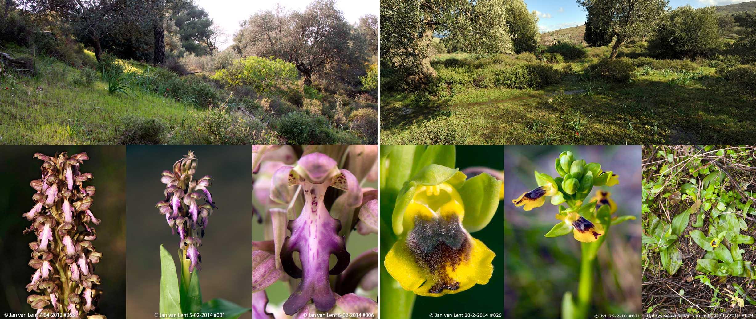 H.robertianum & Oph.sicula, Eftalou-2 86,62x36,66