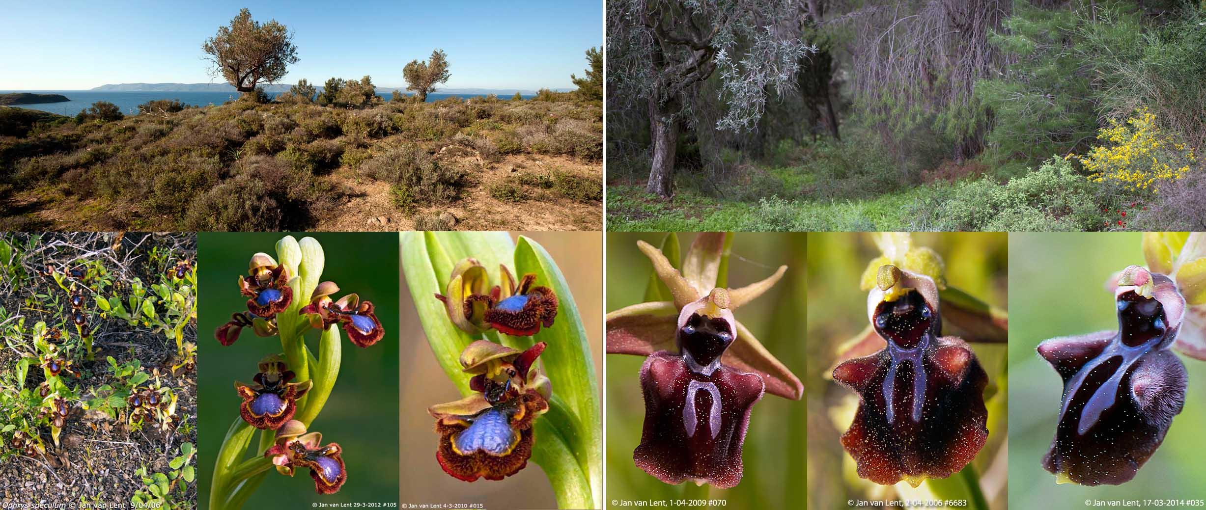 Ophrys speculum & mammosa, Eftalou-3 86,62x36,66