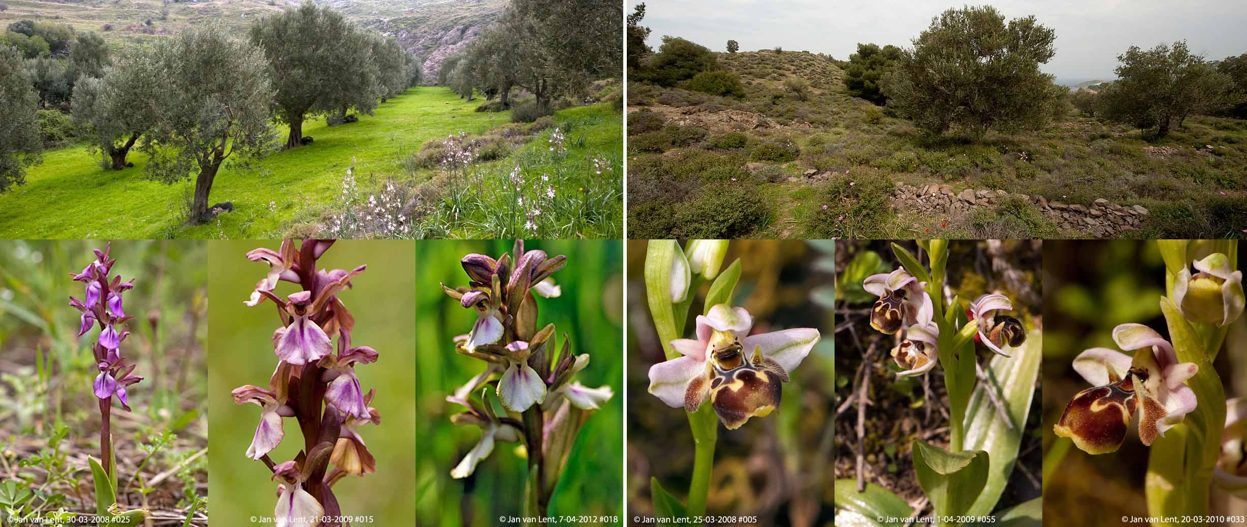 Orchis collina & Oph.umbilicata, Eftalou