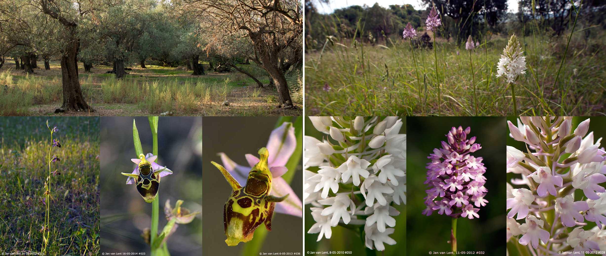 Ophrys phrygia & A.pyramidalis, Eftalou-5 86,62x36,66