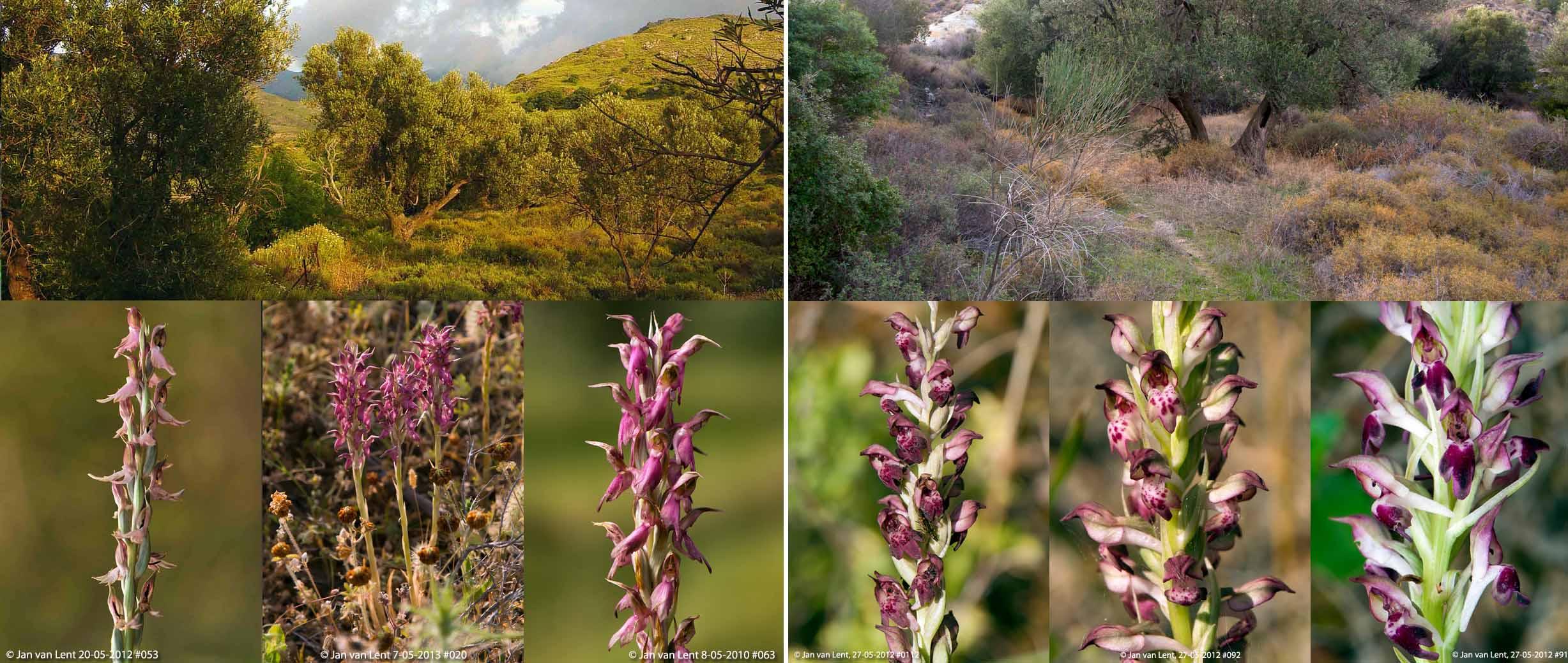 Orchis sancta & Orchis fragrans-kallithea, Eftalou