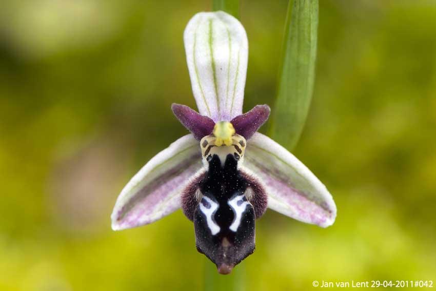 Ophrys reinholdii © Jan van Lent 29-04-2011#033