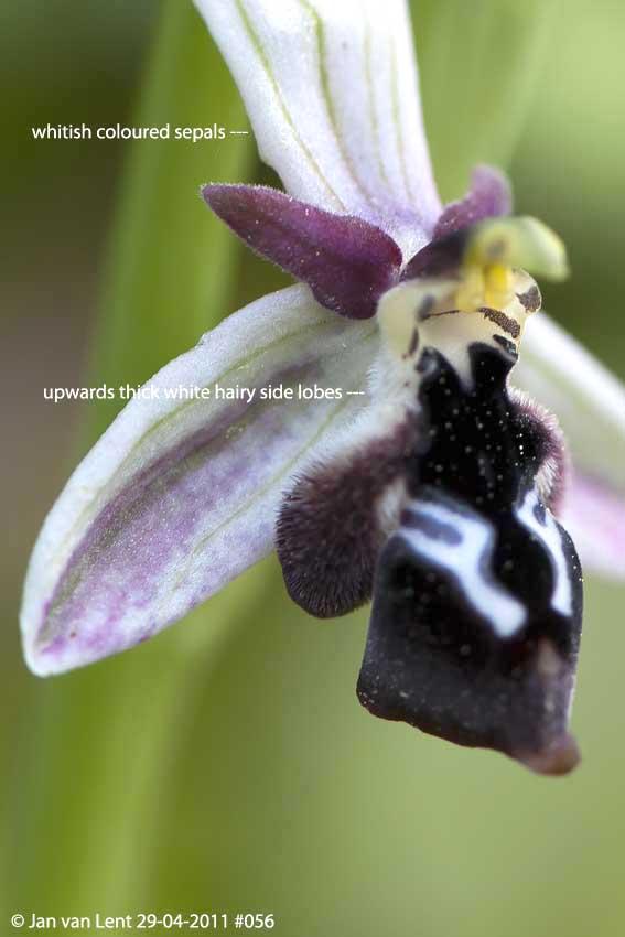 Ophrys reinholdii © Jan van Lent 29-04-2011 #056