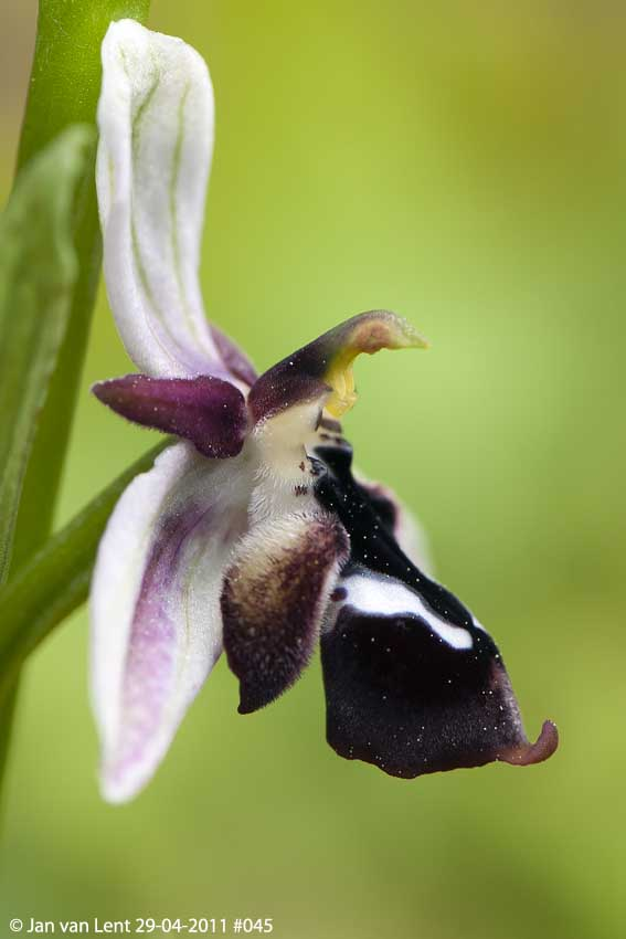 Ophrys reinholdii © Jan van Lent 29-04-2011 #045