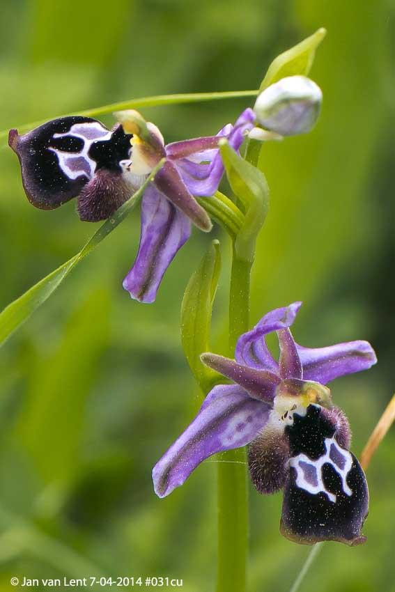 Ophrys reinholdii Melies © Jan van Lent 7-04-2014 #031