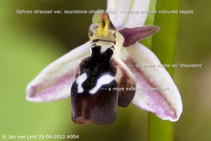 Ophrys reinholdii © Jan van Lent 25-04-2012 #004