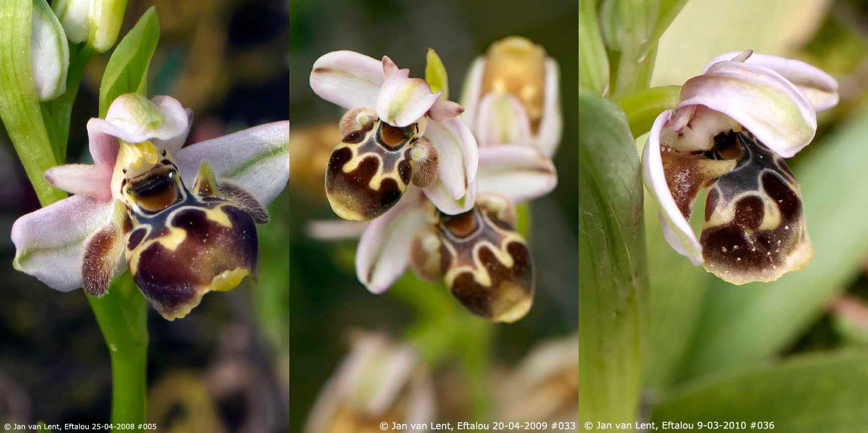 O. umbilicata, Eftalou © Jan van Lent 2008, 2009, 2010